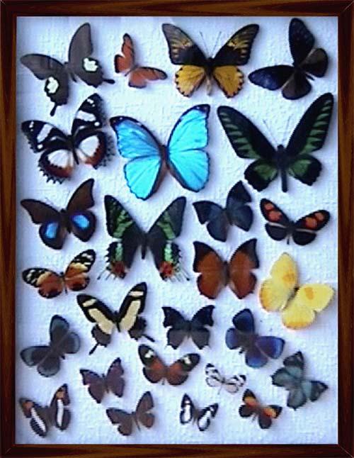 Как сделать бабочку своими руками как настоящую